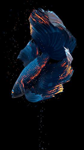 Betta Fish Live Wallpaper Free V1 2 Unlocked Apkmagic